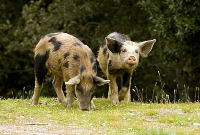 Piglets Foraging In Woodland Art Print by Bob Gibbons