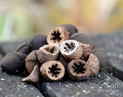 Photograph - Pignut Hickory Nuts by Nancy Greenland