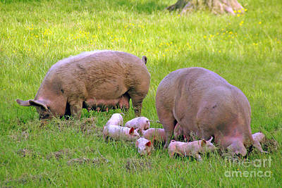 Photograph - Pigs In A Field by Rod Jones