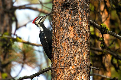 Pileated Woodpecker - Dryocopus Pileatus Art Print by Merle Ann Loman