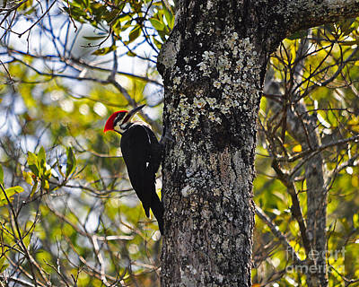 Pileated Woodpecker Photograph - Pileated Woodpecker by Al Powell Photography USA