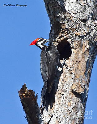 Birdwatching. B A Bowen Photograph - Pileated Woodpecker by Barbara Bowen