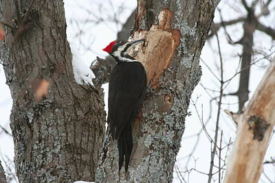 Pileated Woodpecker Art Print by Carolyn Reinhart