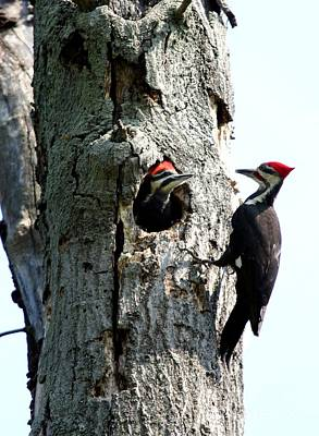 Photograph - Pileated Woodpecker by Jack R Brock