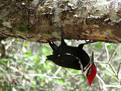 Photograph - Pileated Woodpecker by Judy Wanamaker
