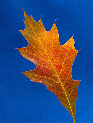 Photograph - Pin Oak by Jean Noren