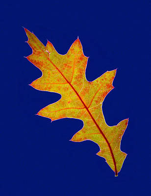 Photograph - Pin Oak Leaf by Jean Noren