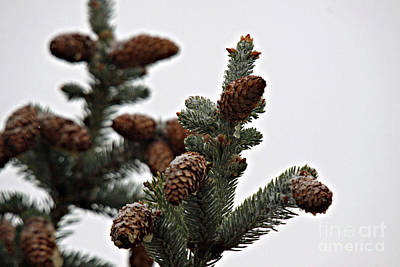 Photograph - Pine Branch With Snow 2 by Shawn Naranjo