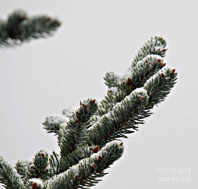 Photograph - Pine Branch With Snow 3 by Shawn Naranjo