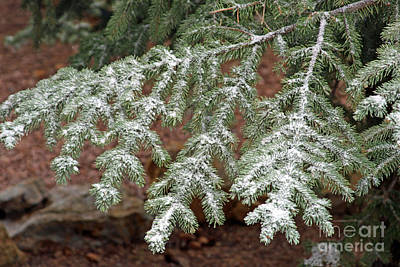 Photograph - Pine Branch With Snow 4 by Shawn Naranjo