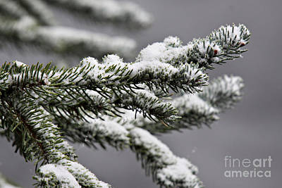 Photograph - Pine Branch With Snow 5 by Shawn Naranjo