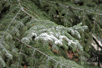 Photograph - Pine Branch With Snow 6 by Shawn Naranjo
