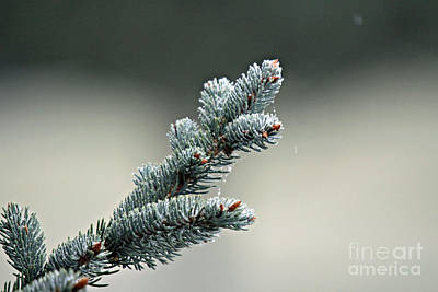 Photograph - Pine Branch With Snow by Shawn Naranjo