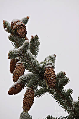 Photograph - Pine Cone Snow by Shawn Naranjo