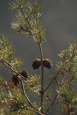 Pine Cones At The Top Of A Small Pine Art Print by Raymond Gehman