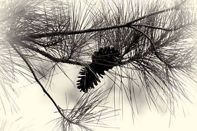 Pine Cones In The Treetops Art Print by Douglas Barnard
