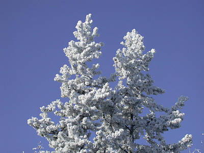 Photograph - Pine Hoar Frost by Jan Piet
