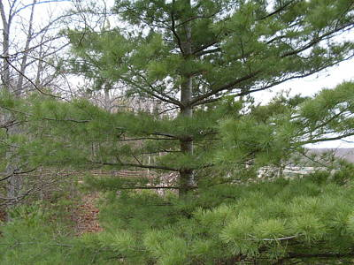 Photograph - Pine In The Woods by Ted Kitchen