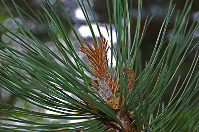Pine Photograph - Pine Needles by Aimee L Maher Photography and Art Visit ALMGallerydotcom