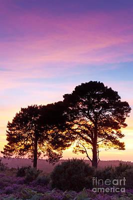 Pine Partnership At Sunset Art Print by Richard Thomas