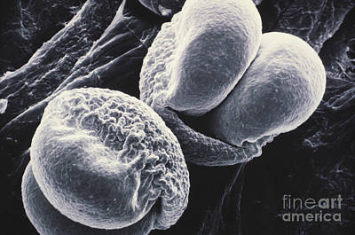Photograph - Pine Pollen Sem by Omikron