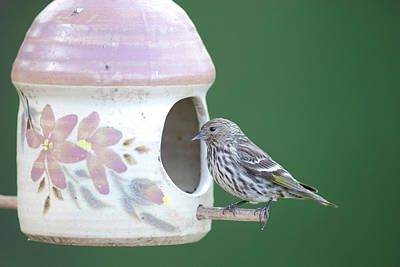 Photograph - Pine Siskin by Jan Piet