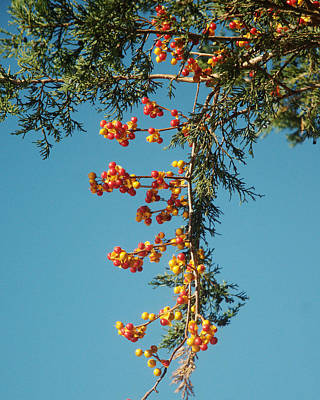 Photograph - Pine Tree With Berries by Barry Doherty