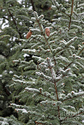 Photograph - Pine With Snow 2 by Shawn Naranjo