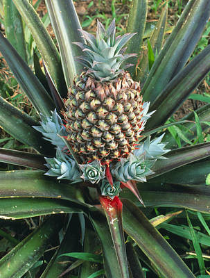 Ananas Comosus Photograph - Pineapple Plant With Fruit by Sinclair Stammers