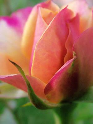 Pink And Orange Mini Rose Art Print by Robin Cox