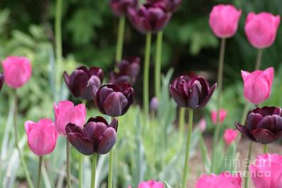 Photograph - Pink And Purple Tulips by Living Color Photography Lorraine Lynch