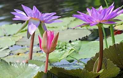 Pink And Purple Waterlilies Art Print