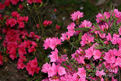 Photograph - Pink And Red Azaleas by Susan Stevenson