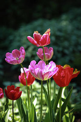 Pink And Red Tulips Art Print by Tom Buchanan
