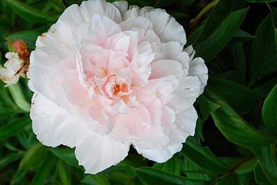 Digital Art - Pink And White Peony by Eva Kaufman