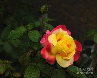Pink And Yellow Rose 5 Art Print