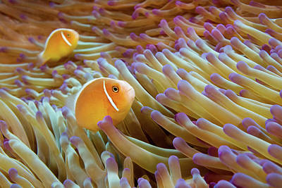 Undersea Photograph - Pink Anemonefish by James R.D. Scott