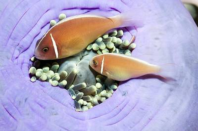 Clown Pair Photograph - Pink Anemonefish Sheltering by Georgette Douwma
