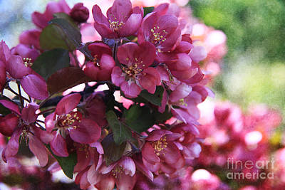 Photograph - Pink Apple Blossoms by Alyce Taylor