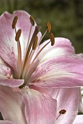 Photograph - Pink Asiatic Lily by Danielle Summa