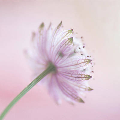 Astrantia Photograph - Pink Astrantia by Jill Ferry