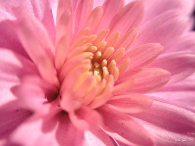 Photograph - Pink Bloom by Chriss Pagani