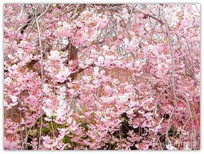 Weeping Cherry Photograph - Pink Blossoms by Carol Groenen