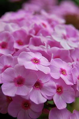 Pink Blossoms Art Print