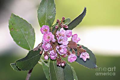 Photograph - Pink Blossoms by Shawn Naranjo
