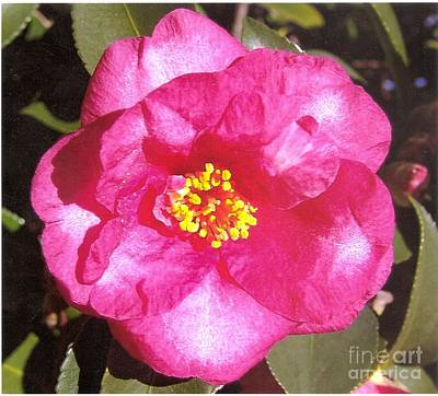 Photograph - Pink Camelia Blowup by Rod Ismay