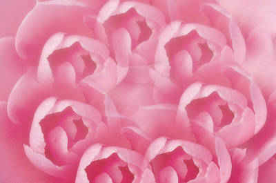 Flower Photograph - Pink Camellia 7 by Steve Purnell