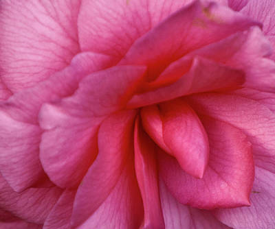 Camellia Photograph - Pink Camellia by Forest Alan Lee