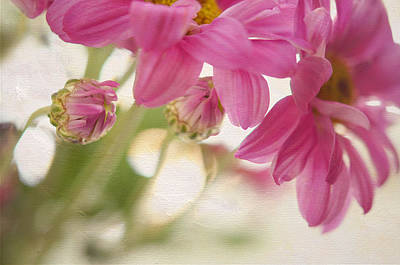 Floral Composition Photograph - Pink Chrysanthemum by Jenny Rainbow