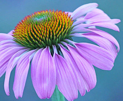Pink Coneflower Art Print by Becky Lodes